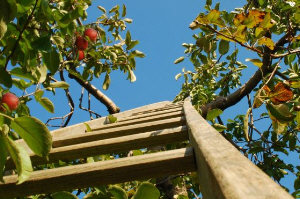 apple tree and ladder