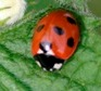 British ladybird